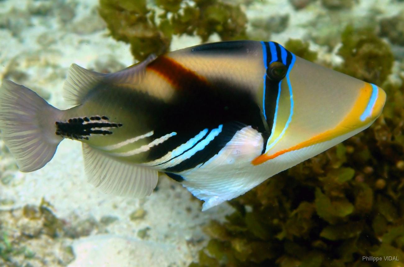 Poisson-baliste-picasso-Rhinecantus aculeatus