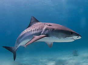 Requin-tigre