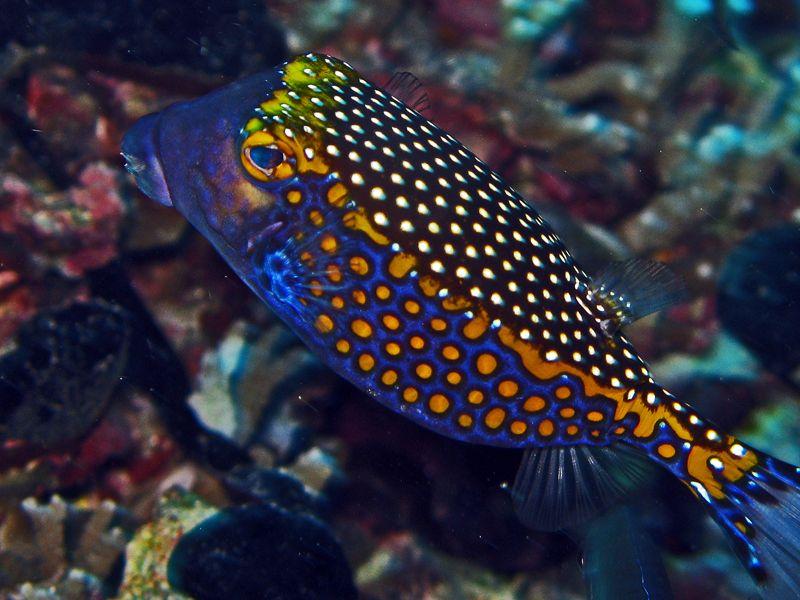 poisson-coffre-pintade
