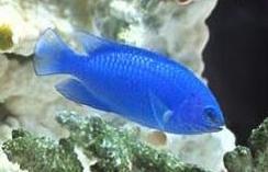 poisson-demoiselle-bleu-vert