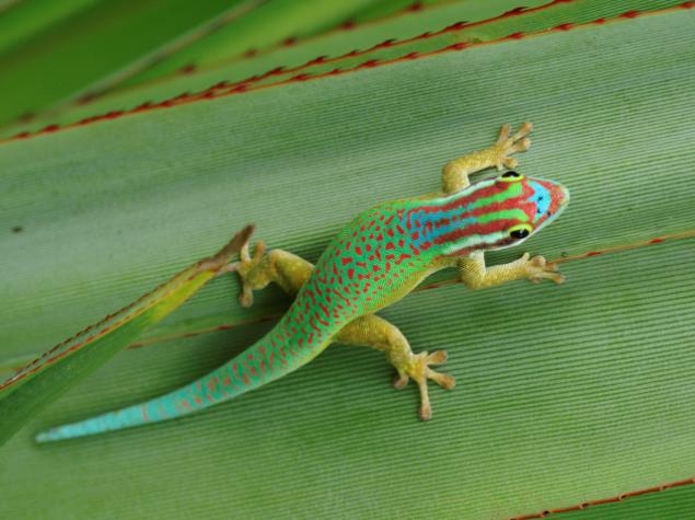 gecko-vert-de-manapany