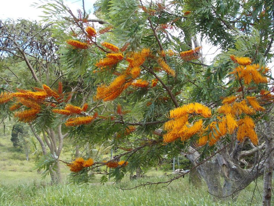 grevillea-robusta