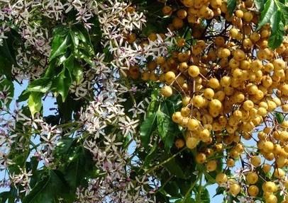 margosier-lila-de-perse