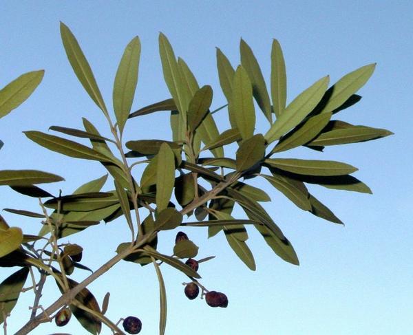 bois-olive-noir