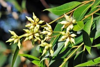 eucalyptus-robusta